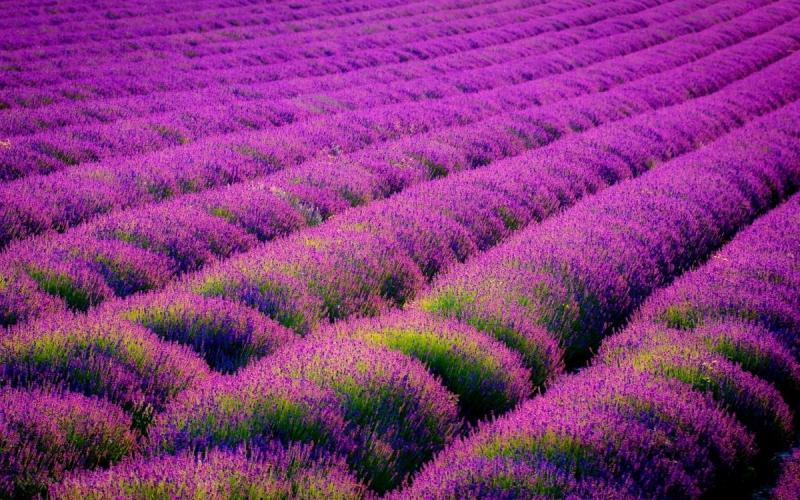 Lavender-Wallpaper-Gallery